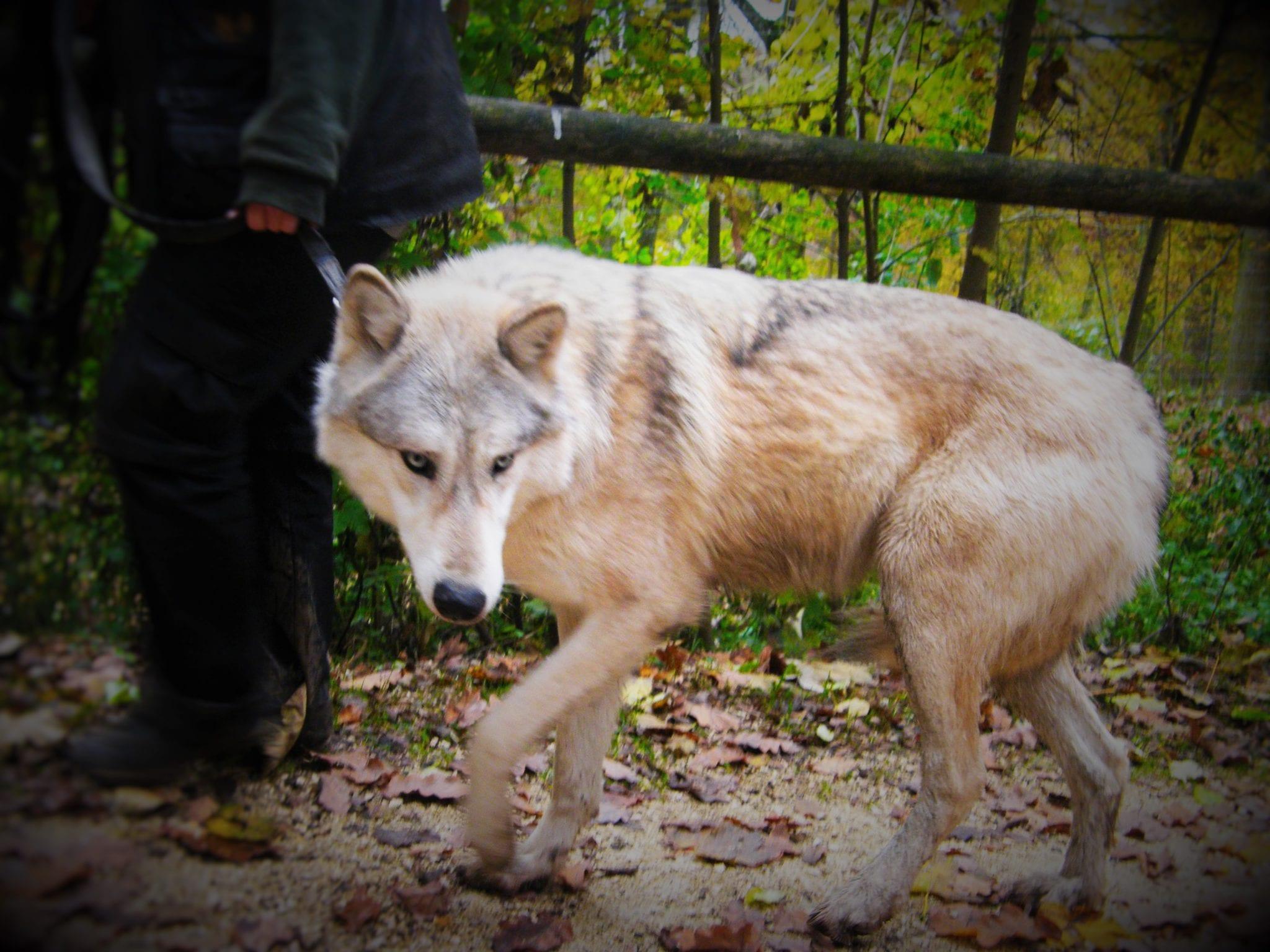 Timberwolf Ernstbrunn Wolfsforschungszentrum