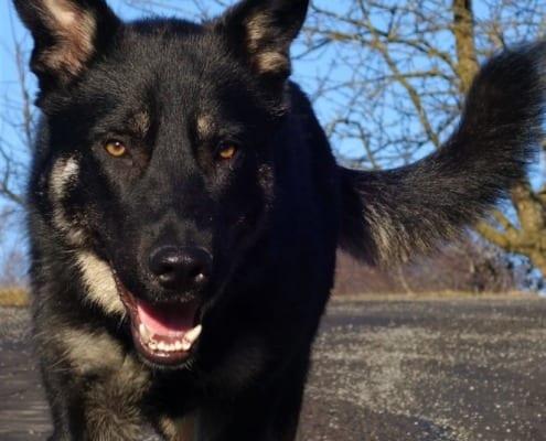 Khali - unser Schäferhund
